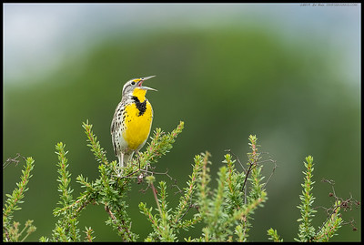 A Western Meadowlark was belting out the tunes.