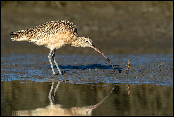 A Long Billed Curlew accidentally tossed the ghost shrimp it pulled from the mud.