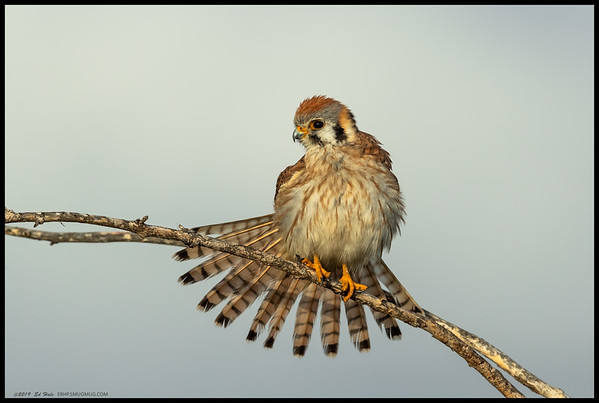 The intermittent clouds filtered the early morning light shining on the female American Kestrel.