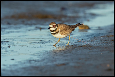 A heroic Killdeer 'rescues' a marine worm from the mud.