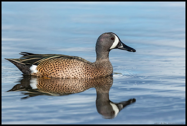 A Blue Winged Teal drake gliding across the almost still lagoon.