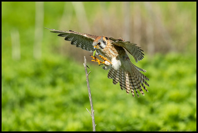 A female American Kestrel a split second before landing on a dead stem to eat an afternoon snack.
