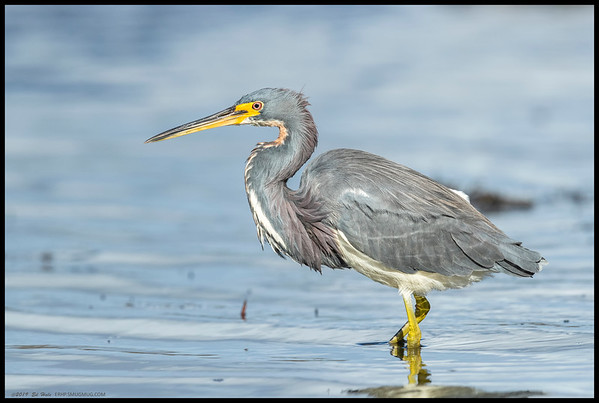 A slight break in the wind and the sun popped out at the same time to show off the colors of our local Tri-colored Heron.