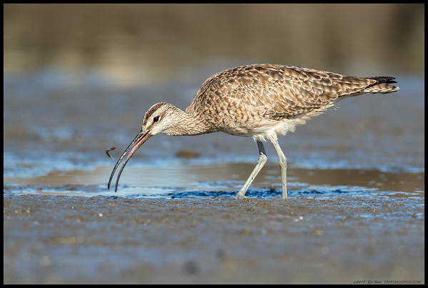 It was interesting watching this Whimbrel pull a small fish out of the mud, then as it was squeezing it, the fish slid out and proceeded to bounce on the surface, causing great consternation to the whimbrel until it successfully recaptured and ate it.