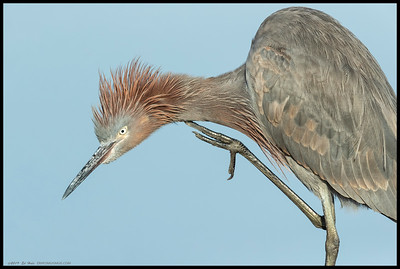 An immature Reddish Egret getting in a little neck scratch.