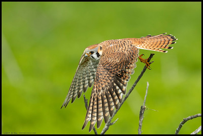 The brighter(more white, less orange on the breast) of the two female Kestrels taking off after another snack.