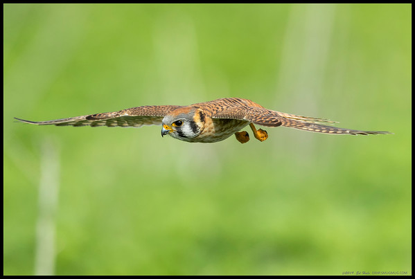 Female Kestrel on an 'attack' run.