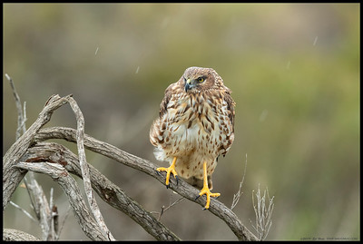 The female Northern Harrier was not the biggest fan of the rain drops falling around her.