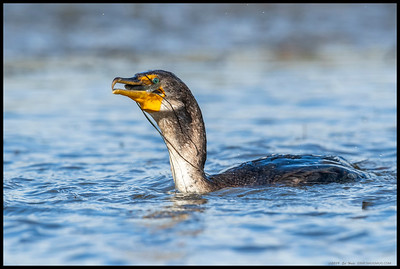 I bet that fish is thinking 'Who turned out the lights'.  Double Crested Cormorant.