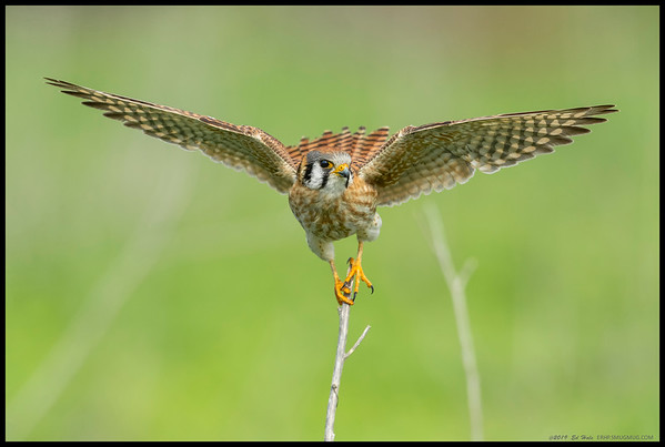 An American Kestrel on her touchdown atop a dead stem.  Either the stems are a lot stronger than they look or these falcons weigh very little.  Perhaps both.