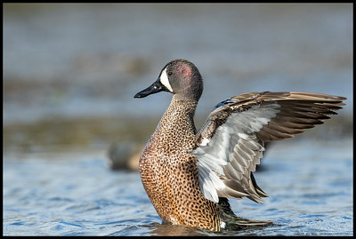 During a brief bit of late afternoon light, this male Blue-Winged Teal gave me a few wing flaps.