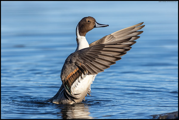 I saw this Northern Pintail drake starting the wash cycle and it was a rush to get the 1.4X extender off in time so I could actually capture it all in frame.
