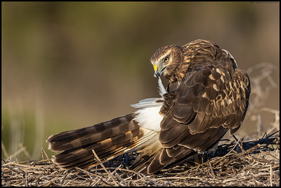 A female Northern Harrier preening in the early morning.