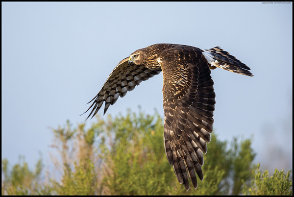 A female Northern Harrier a second after takeoff winging between the low shrubberies.