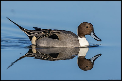 A Northern Pintail drake gliding across the nearly still waters of the fish bowl with his mate not far behind.
