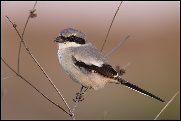 A local Loggerhead Shrike was very accommodating and posed for a its portrait as the sun dropped behind the horizon.