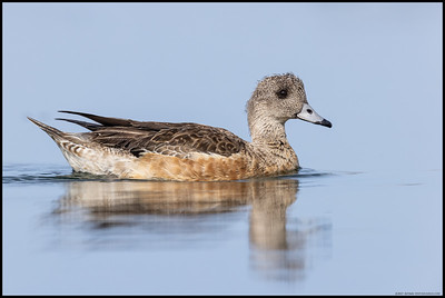 An American Wigeon hen out for a paddle under some hazy sunlight.
