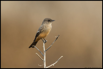 Having a Say's Phoebe sit on a solitary dead stem took a while and then it was chased by a American Kestrel.