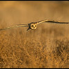 A Short Eared Owl scouring the field from above looking for supper.