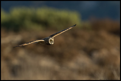 Short Eared Owl on the hunt.