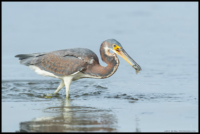 The juvenile Tricolored Heron with a freshly caught breakfast snack.