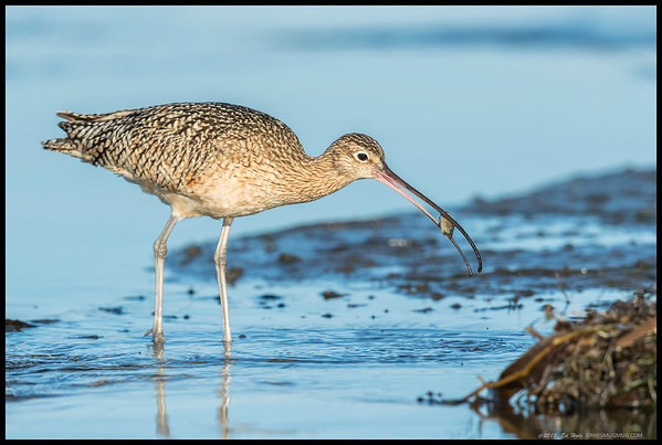 After a bit of work, this Long Billed Curlew fish out a decent sized bivalve.