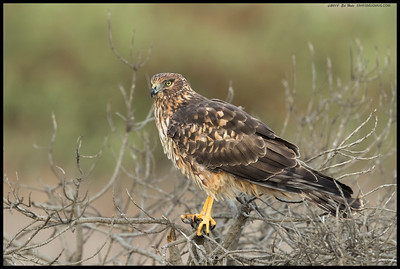The female Northern Harrier is a poser.