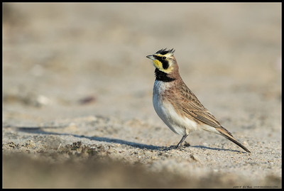 One of the Horned Larks showing off the horns.