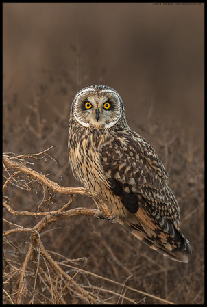 Hanging out on the island with a Short Eared Owl.  Trying to get as much feather detail as possible under an obscured sunset.