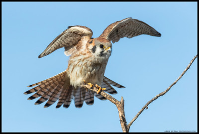 This female Kestrel was keeping an eye on me while stretching out the wings.