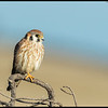 One of the American Kestrel's posed on a berm overlooking the waters of Mission Bay.