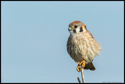 A female American Kestrel perched on top of a bush.  I took quite a bit of time, slowly approaching her step by step over what felt like a much longer time but was probably less than ten minutes.