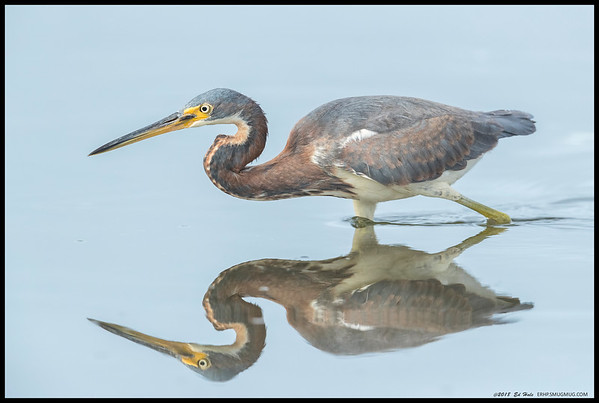 Trying to capture the near perfect reflection of the juvenile Tricolored Heron hunting along the river.