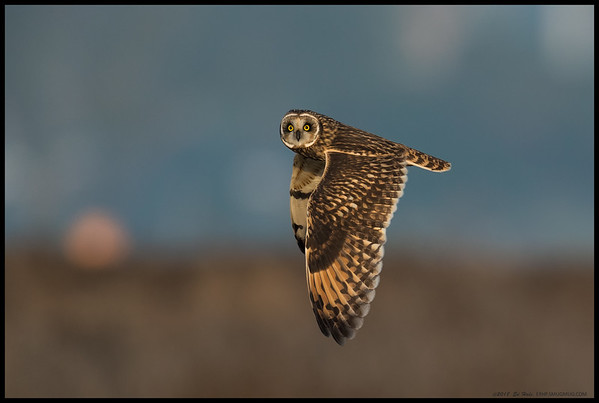 A Short Eared Owl flying over the island while keeping an eye on the humans.