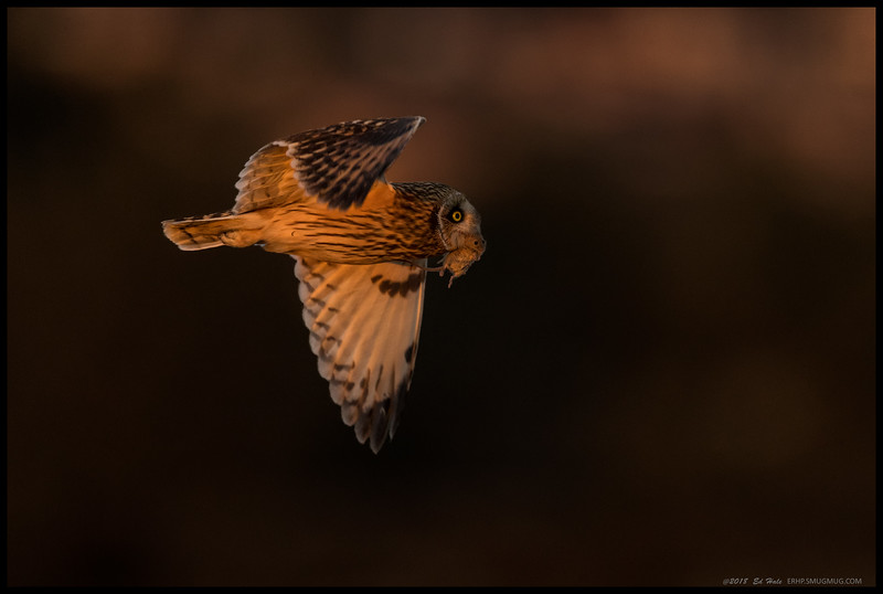 Shorty's Pest Control.  Happened to be fortunate to catch one of the Short Eared Owls diving and catching a mouse about 30 feet away, just under less than optimal lighting conditions.