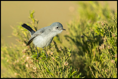 A Blue Gray Gnatcatcher stretching to see if there were tasty treats on the other side of the bush.