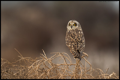 A Short Eared Owl maintaining a watchful presence.