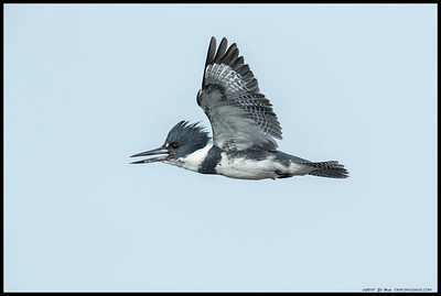 The male Belted Kingfisher flying by me in the early morning fog.