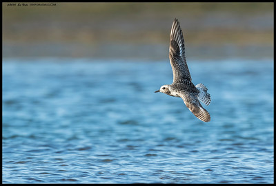 Black Bellied Plover doing some aerial laps.