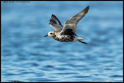 One of the many flights I got to watch this Black Bellied Plover make.