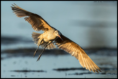 Marbled Godwit making a hard bank prior to landing.