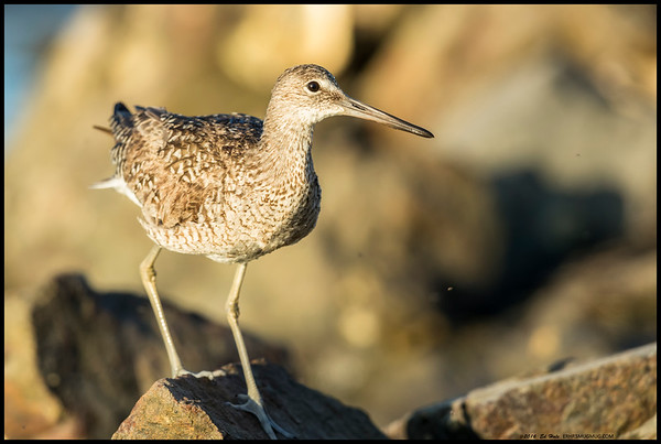 Willet in the rocks.