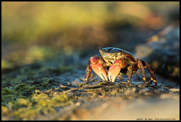 Sitting low on the rocks by the river, I often have a myriad of different crabs scurry from one rock to the next.  This one sat out and was basking in the late afternoon light just on the edge of my minimal focus distance.