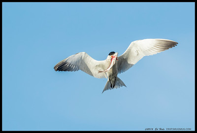 Caspian Tern trying to figure out how to eat the large fish it speared.