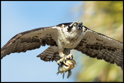 A relatively close flyby of the female Osprey with the catch of the day, or at least the evening.