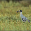 This Yellow Crowned Night Heron paused for a moment to allow some 1/60th of a second exposures of it with a crab.