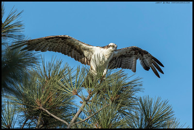 Funny watching this Osprey land in a pine and then play with the needles that were poking through its feathers.  Believe this is one of the juveniles based on behavior.