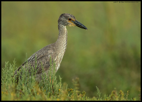 A juvenile Yellow Crowned Night Heron and I were playing a game of who could be more patient.  This was taken at 1/30 of a second at ISO 1250 so you can probably guess it was fairly dark.  I managed to get sharp images down to 1/5th of a second but the angles just weren't as nice.