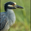 A little fluff as this Yellow Crowned Night Heron turned to face a potential rival.