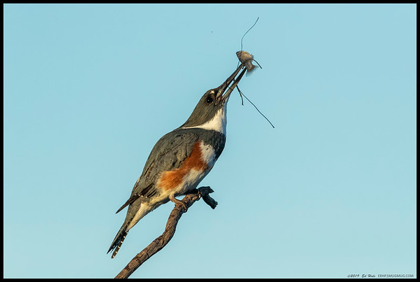 A female Belted Kingfisher fighting to get the 'salad' off her breakfast.